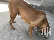 Adult Female Mixed Breed Boerboel | Dogs & Puppies for sale in Greater Accra, Tema Metropolitan