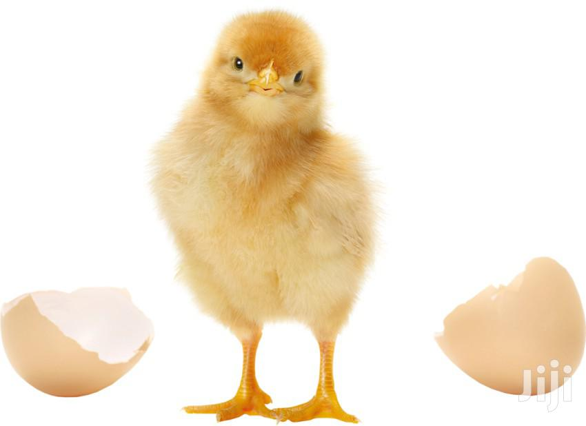 Day Old Chicks | Livestock & Poultry for sale in Darkuman, Greater Accra, Ghana