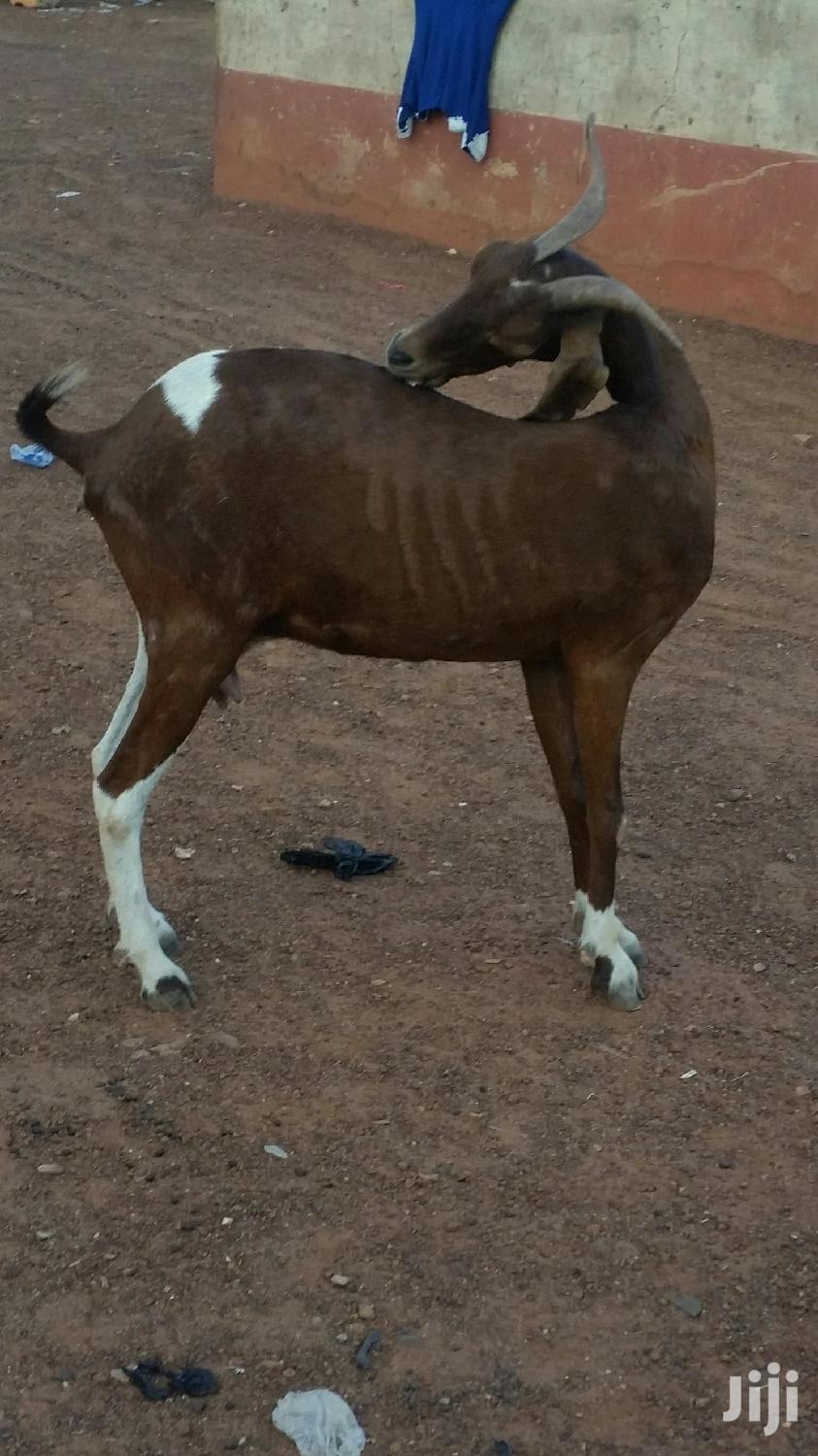 Archive: Very Nice And Healthy Goat