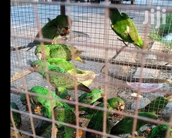 Archive: Jardine Parrots Available
