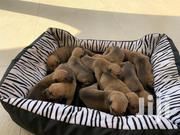 Baby Male Mixed Breed Boerboel | Dogs & Puppies for sale in Greater Accra, East Legon