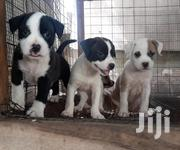 Baby Female Purebred American Pit Bull Terrier | Dogs & Puppies for sale in Greater Accra, Adenta Municipal