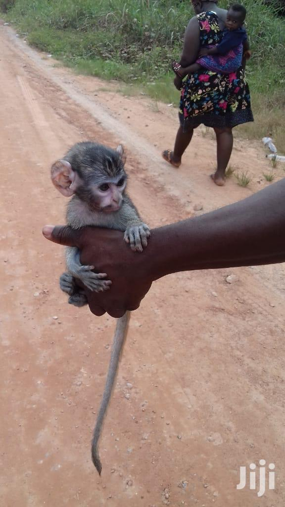 A Very Nice ,Neat And Tame Pet Monkey For Sale