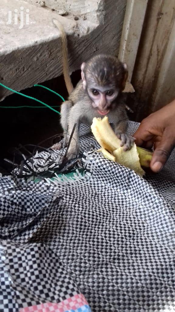 A Very Nice ,Neat And Tame Pet Monkey For Sale | Other Animals for sale in Cape Coast Metropolitan, Central Region, Ghana