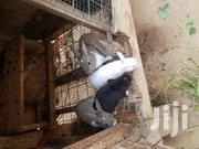 Male Rabbits For Sale | Livestock & Poultry for sale in Greater Accra, Odorkor