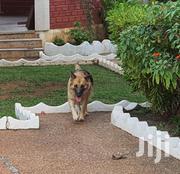 Baby Male Purebred German Shepherd | Dogs & Puppies for sale in Ashanti, Kumasi Metropolitan