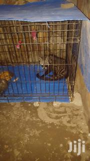 Bush Dog Very Agressive And Still Young For Training | Other Animals for sale in Greater Accra, Achimota