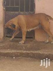 Adult Female Purebred Boerboel | Dogs & Puppies for sale in Greater Accra, East Legon