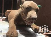 Young Male Purebred American Pit Bull Terrier | Dogs & Puppies for sale in Greater Accra, Dzorwulu