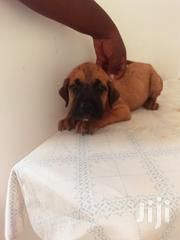 Young Male Purebred Bullmastiff | Dogs & Puppies for sale in Brong Ahafo, Sunyani Municipal