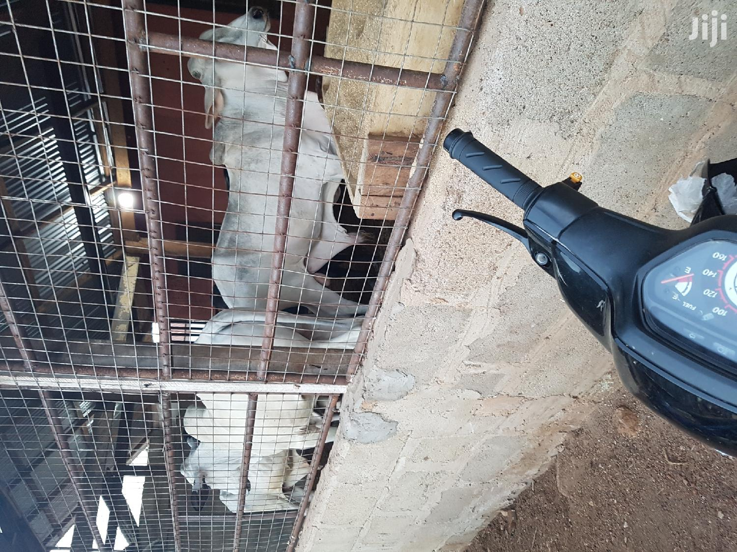 Cows And Goats At Cull Price | Livestock & Poultry for sale in Tamale Municipal, Northern Region, Ghana