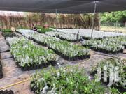 Grafted Cashew Seedlings For Sale | Feeds, Supplements & Seeds for sale in Brong Ahafo, Wenchi Municipal