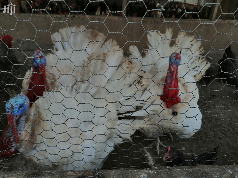 Male Forign Turkeys For Sale