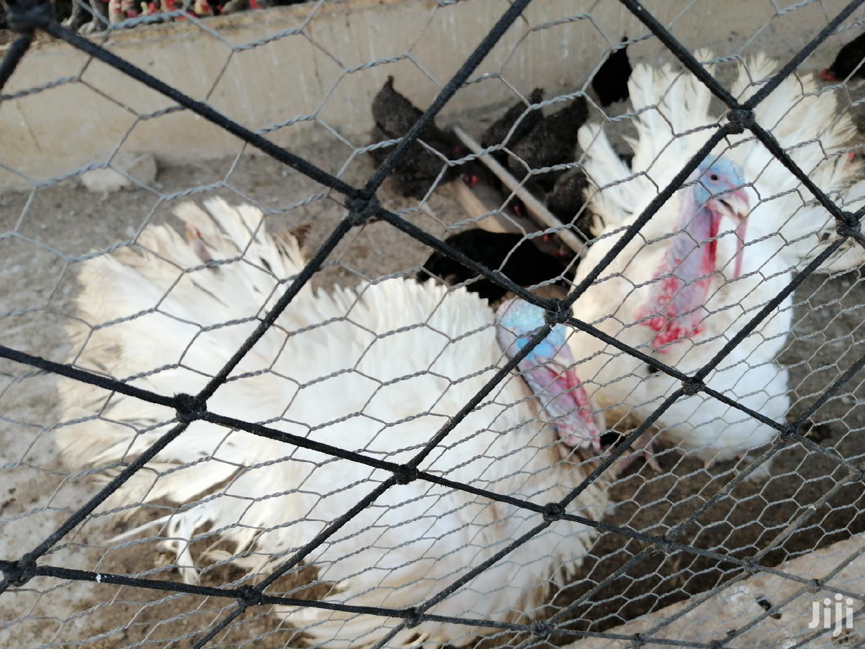 Male Forign Turkeys For Sale   Livestock & Poultry for sale in Kumasi Metropolitan, Ashanti, Ghana
