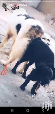 Baby Male Mixed Breed German Shepherd | Dogs & Puppies for sale in Greater Accra, Accra new Town
