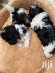 Baby Male Purebred Shih Tzu | Dogs & Puppies for sale in Greater Accra, East Legon
