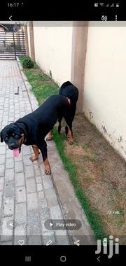 Adult Male Purebred Rottweiler | Dogs & Puppies for sale in Greater Accra, Tema Metropolitan