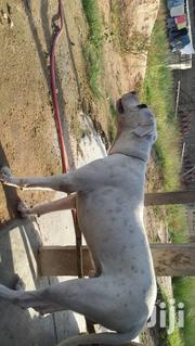 Adult Male Purebred Mastiff | Dogs & Puppies for sale in Greater Accra, Ledzokuku-Krowor