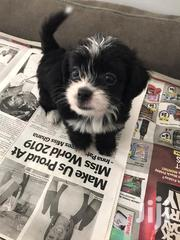 Baby Female Purebred Maltese | Dogs & Puppies for sale in Greater Accra, Ga South Municipal