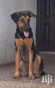 Young Female Mixed Breed German Shepherd | Dogs & Puppies for sale in Greater Accra, Adenta Municipal