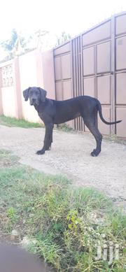 Young Male Mixed Breed Great Dane | Dogs & Puppies for sale in Greater Accra, Adenta Municipal