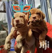 Baby Female Purebred Dogue de Bordeaux | Dogs & Puppies for sale in Ashanti, Kumasi Metropolitan