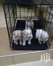 Baby Female Purebred Poodle | Dogs & Puppies for sale in Greater Accra, East Legon