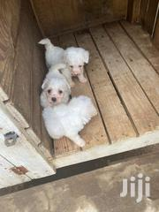 Baby Female Mixed Breed Poodle | Dogs & Puppies for sale in Greater Accra, South Labadi