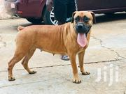 Adult Female Purebred Boerboel | Dogs & Puppies for sale in Greater Accra, North Kaneshie