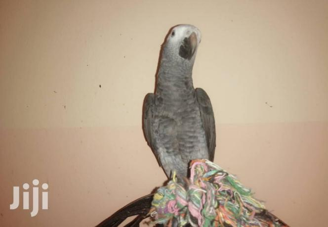 Archive: Timneh African Grey Parrot