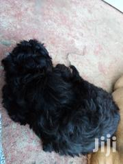 Baby Male Mixed Breed Maltese | Dogs & Puppies for sale in Greater Accra, Tema Metropolitan