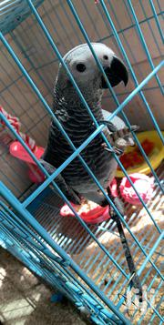 Ffriendly And Fun To Be With | Birds for sale in Greater Accra, East Legon
