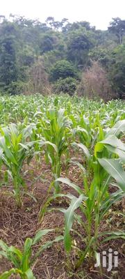 Fresh Corn | Meals & Drinks for sale in Eastern Region, Fanteakwa