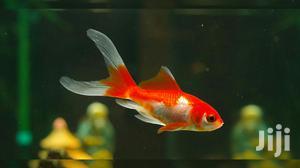 Comet Fish | Fish for sale in Ashanti, Kumasi Metropolitan