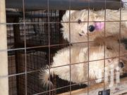 Young Female Purebred Poodle | Dogs & Puppies for sale in Greater Accra, Mataheko