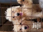 Young Male Purebred Poodle | Dogs & Puppies for sale in Greater Accra, Mataheko