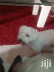 Adult Male Purebred Maltese | Dogs & Puppies for sale in Greater Accra, North Kaneshie