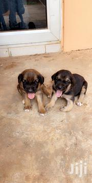 Baby Female Purebred Boerboel | Dogs & Puppies for sale in Greater Accra, East Legon