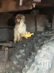 Baby Monkey For Sale. | Other Animals for sale in Greater Accra, East Legon