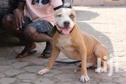 Adult Male Purebred American Pit Bull Terrier | Dogs & Puppies for sale in Greater Accra, Dansoman