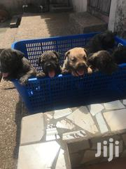 Young Female Purebred Boerboel | Dogs & Puppies for sale in Western Region, Shama Ahanta East Metropolitan