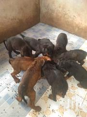 Baby Female Mixed Breed Rottweiler | Dogs & Puppies for sale in Western Region, Wassa West
