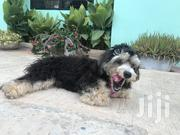 Baby Male Purebred Poodle | Dogs & Puppies for sale in Ashanti, Kumasi Metropolitan