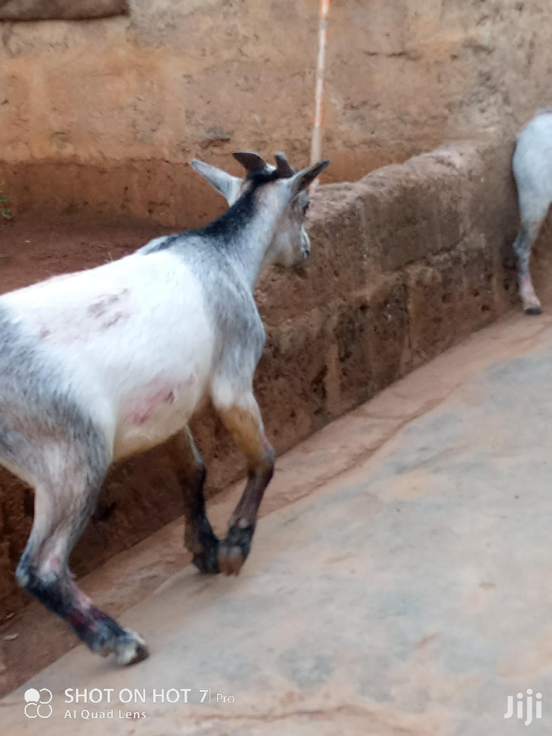 Archive: A Male Large Goat.