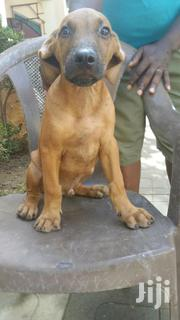 Young Female Mixed Breed Boerboel | Dogs & Puppies for sale in Greater Accra, Tema Metropolitan