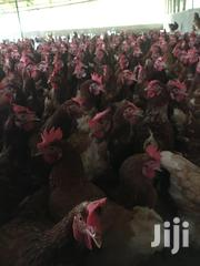 Chickens   Livestock & Poultry for sale in Eastern Region, Suhum/Kraboa/Coaltar