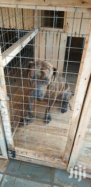Adult Male Purebred Boerboel | Dogs & Puppies for sale in Greater Accra, Tema Metropolitan