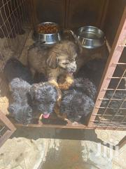 Baby Male Purebred Poodle | Dogs & Puppies for sale in Greater Accra, Kotobabi