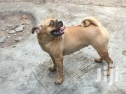 Adult Female Mixed Breed Pug | Dogs & Puppies for sale in Greater Accra, Tema Metropolitan