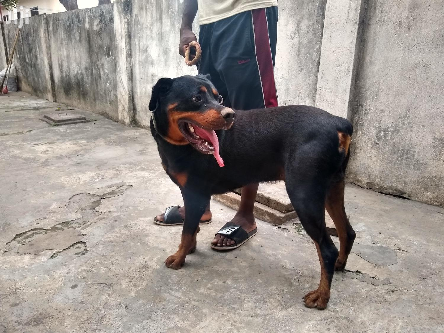 Adult Male Purebred Rottweiler | Dogs & Puppies for sale in Accra Metropolitan, Greater Accra, Ghana
